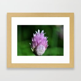 Purple chive flowers 4 Framed Art Print