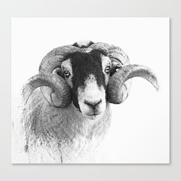 Black and which moorland sheep Canvas Print