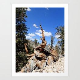 Ancient bristlecone tree Art Print