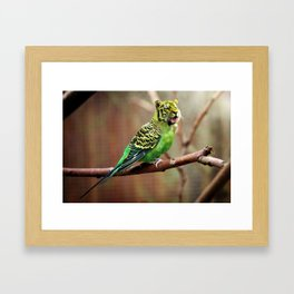 Tiger Parakeet Framed Art Print