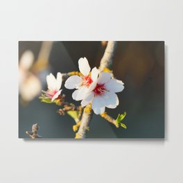 Almond Blossom in Spring Metal Print