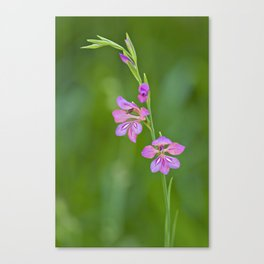 Beauty in nature, wildflower Gladiolus illyricus Canvas Print