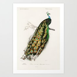 Indian Peafowl (Pavo Cristatus) by Charles Dessalines D' Orbigny Art Print