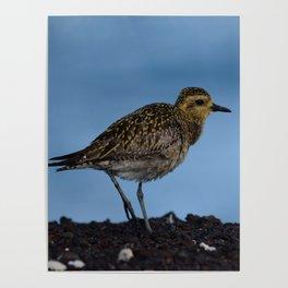 Pacific Golden Plover Poster
