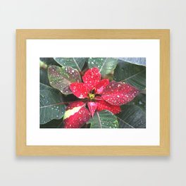 Raindrops on a poinsettia Christmas flower Framed Art Print