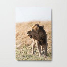 Lion Walk (Color) Metal Print