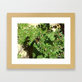 Bumble Bee on Cotoneaster  Framed Art Print