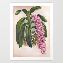 Vintage Lilac Orchid Aerides Fieldingi Lindenia Collection Art Print