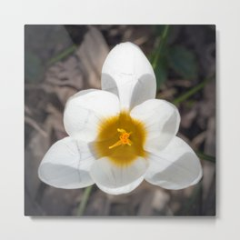 White Crocus flower 6 petals top view triangle shape Metal Print