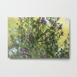 Texas Ranger Bush with Palo Verde in Background Metal Print
