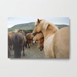Horses Cuddling in Iceland Metal Print