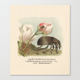 Antique Lithograph of Apple Blossom Weevil Canvas Print