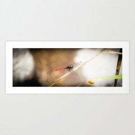 Red Tail Dragon Fly Art Print