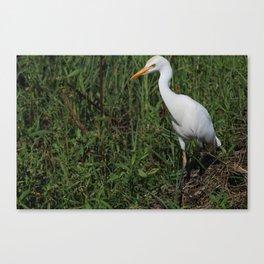 Cattle Egret Canvas Print