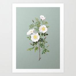 Vintage White Burnet Roses Botanical Illustration on Mint Green Art Print