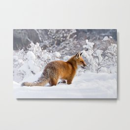 Fire 'n Ice .:. Red Fox in the Snow Metal Print