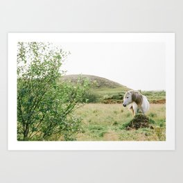 White Horse in Iceland Wild Art Print