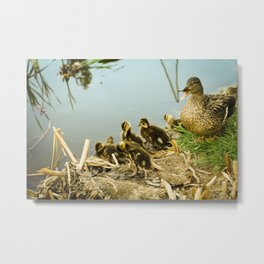 Springtime Ducks Metal Print