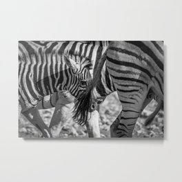 B&W Zebra 2 Metal Print