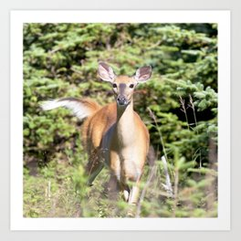 Watercolor Deer, Eastern Whitetail 01, Cape Breton, Canada, The Tail Flick Art Print