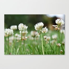 Clover flowers Canvas Print