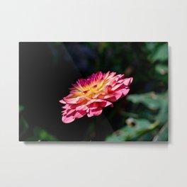 Dahlia flower in full bloom Metal Print