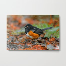 Profile of a Spotted Towhee Metal Print