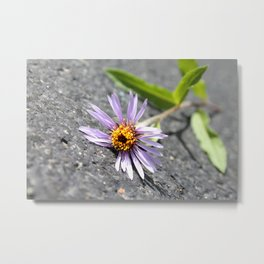 Arctic Aster on asphalt Metal Print