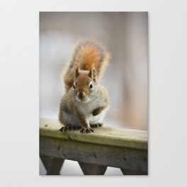 Red squirrel perched on a wooden fence Canvas Print