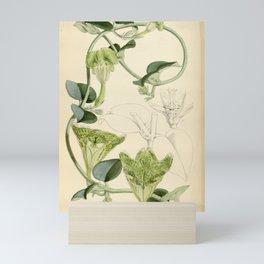 Flower 5792 ceropegia sandersoni Mr Sanderson s Ceropegia1 Mini Art Print