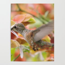 Little Ms. Hummingbird in for More Licks Poster