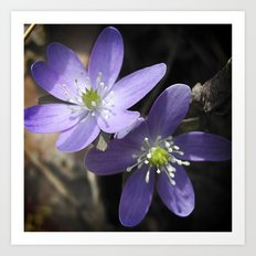 Woodland hepatica, Anemone acutiloba - a sure sign of spring Art Print