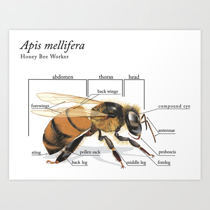 Dorable Anatomy Of A Bee Gallery Human Anatomy Images