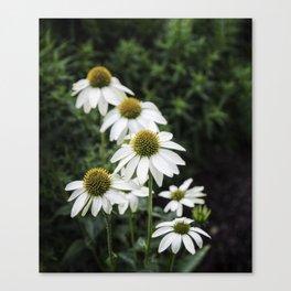 Field of Daisy Flowers  Canvas Print
