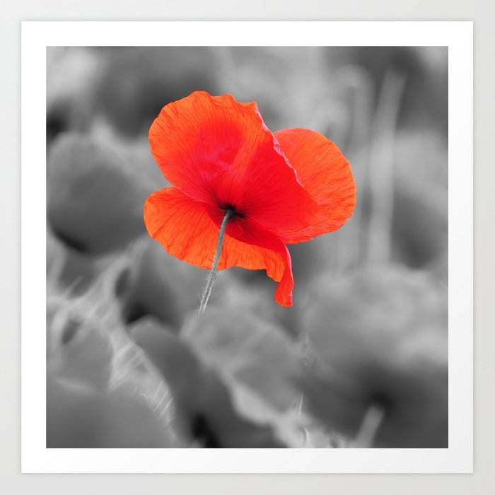 Poppy Black And White Photography With Red Splashes Of Color Art