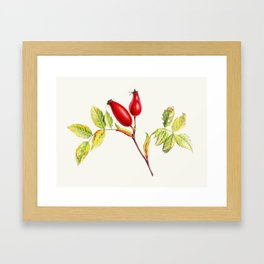 Rose hips, Rosa canina in watercolor Framed Art Print