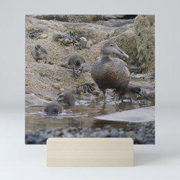 Eider duck with ducklings  | Northumberland coast, Scotland | Fine art bird photography Mini Art Print