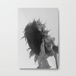 drooping sunflower Metal Print