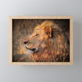 Lion in the evening light, South Africa Framed Mini Art Print