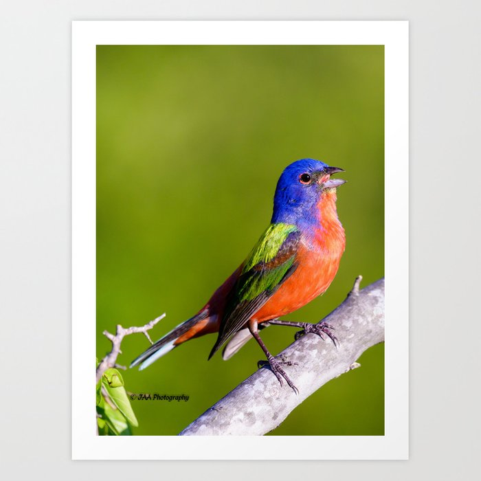 69357a5772d Male Painted Bunting Defending his Territory Art Print by jaaphotography