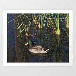 The Duck On The Pond At Papago Park Art Print