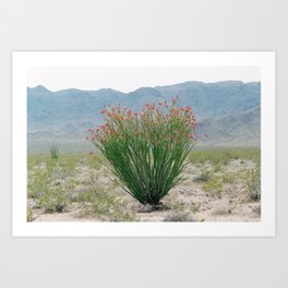 Ocotillo Plant (Anza Borrego Desert, California) Art Print