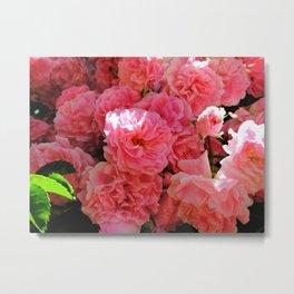 Cape Rose Blooms  Metal Print