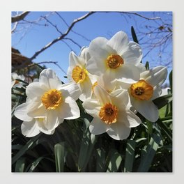 Sunny Faces of Spring - Gold and White Narcissus Flowers Canvas Print
