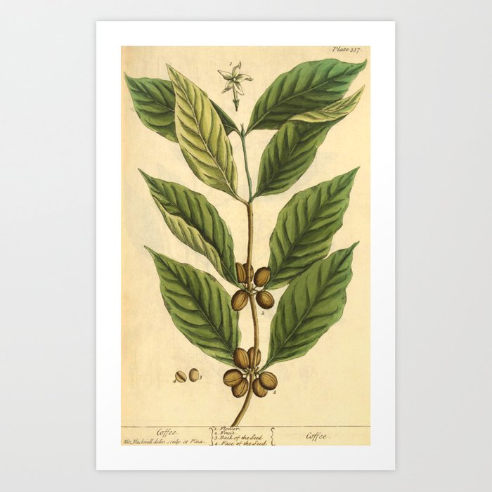 """Coffee by Elizabeth Blackwell from """"A Curious Herbal,"""" 1737 (benefiting The Nature Conservancy) Art Print"""
