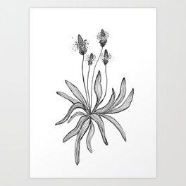 Plantain Art Print