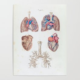 Vintage Anatomy of Human Heart and Lungs Poster