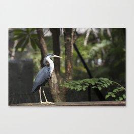 Pied Egret Canvas Print