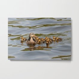 Mallard duck and ducklings Metal Print