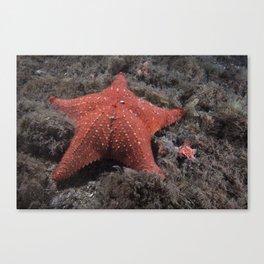 Starfish, (Sea Star)  Canvas Print